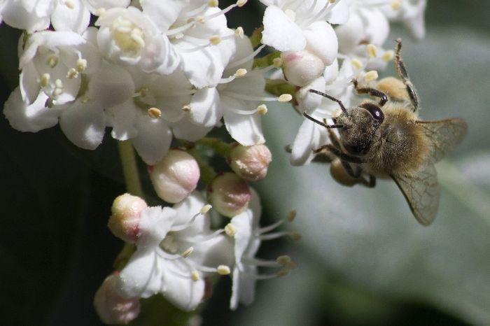 abeille5178faceW