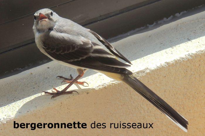 bergeronnetteRuisseaux01©JC