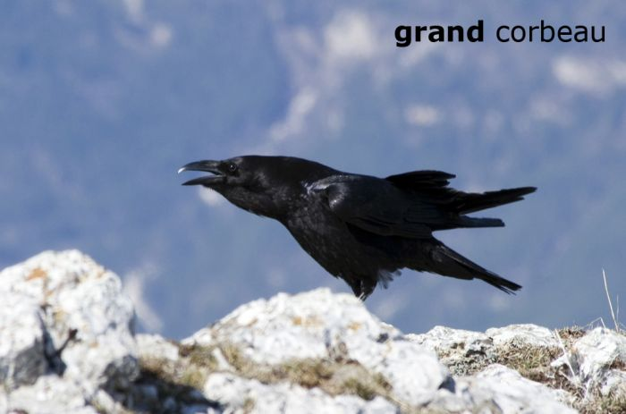 grandCorbeau5769W