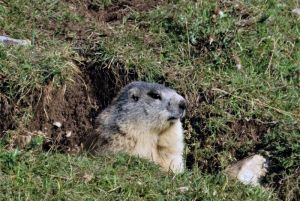 1551marmotte©AT