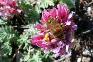 abeilleButine401©JPB