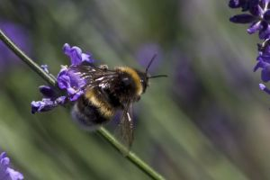 abeilleLavandin01W