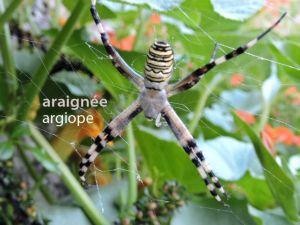araignéeArgiope3540©JPB
