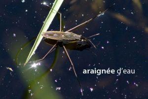 araignéeEauGerridé5025W
