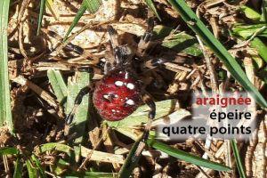 araignéeEpeire4points2238©MR