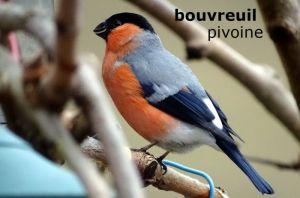 bouvreuilPivoine1484©JC
