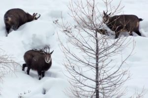 chamois0629neige©AT
