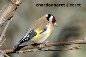 chardonneretElegant1436©JC