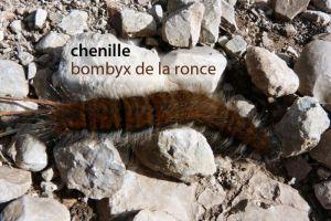 chenilleBombyxRonce315©MT