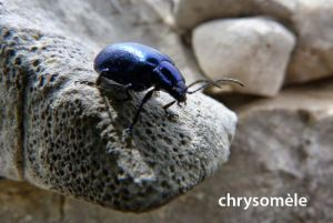 chrysomèle439©MT