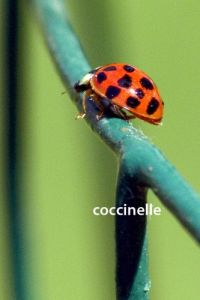coccinelle5230W