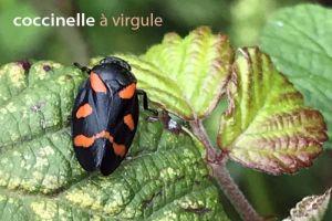 coccinelleVirgule2378©MG