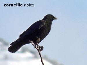 corneilleNoire001©JC
