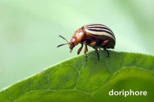 doryphore1590W