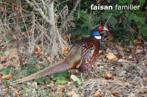 faisan0892W©MT