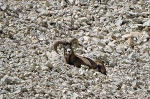 mouflon117©RB