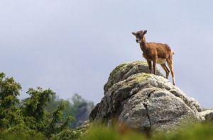 mouflon8285