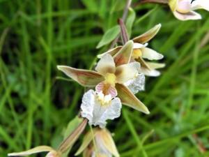 orchis epipactis