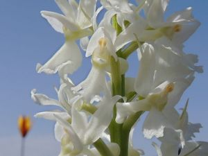 orchis superbe