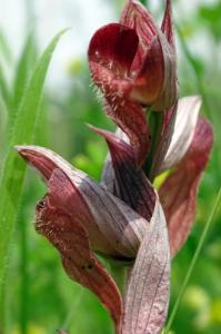 orchis serapia