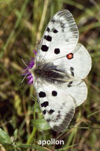 papillonAppolon5196W