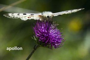 papillonAppolon6852W