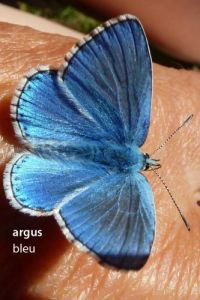 papillonArgusBleu537©JPB
