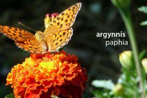 papillonArgynnisPaphia473©JPB