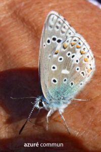 papillonAzuréCommun53©JPB