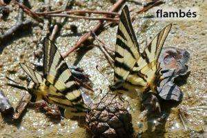 papillonFlambé29©MT