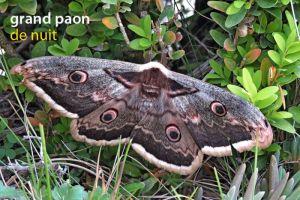 papillonGdPaonDeNuit5305©JPB