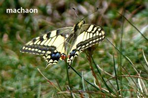 papillonMachaon728©MT
