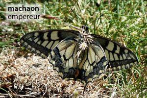 papillonMachaonEmpereur126©MT