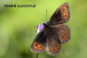 papillonMoiréAutomnal6864W