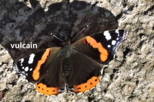 papillonVulcain0684©JPB