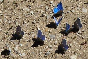 papillonsMuchosPteFeuill43©JPB