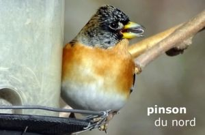 pinsonDuNord1451©JC