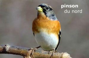 pinsonDuNord1479©JC
