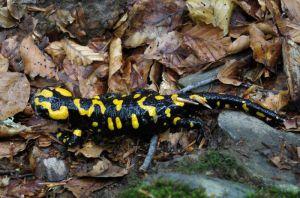 salamandre0675W