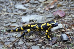 salamandre8415W