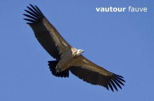vautour4088W