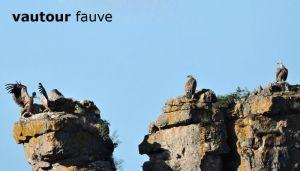 vautourCausses072©JPB
