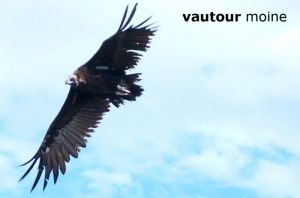 vautourMoine0921bague©MT