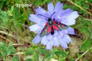 zygène2862©MB