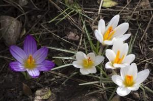 flore2201cinqCrocus